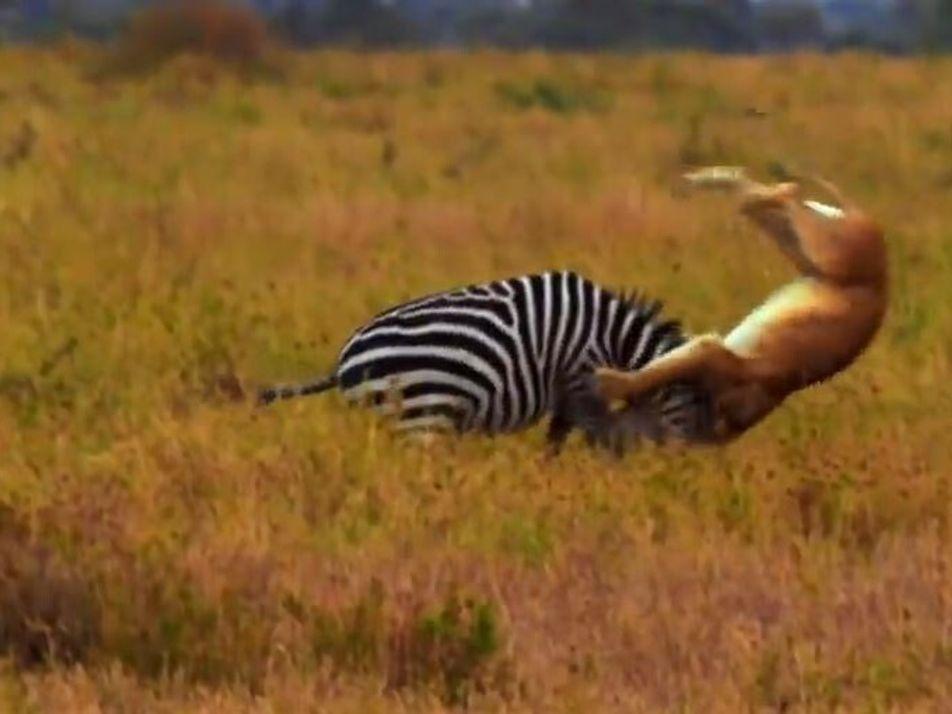 La dangereuse partie de chasse au zèbre