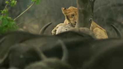 Un jeune lion affronte un troupeau de buffles