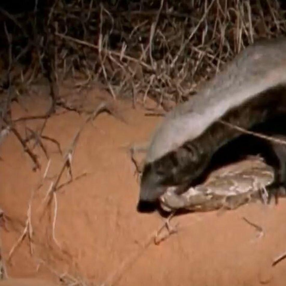 Un ratel s'attaque à une dangereuse vipère heurtante