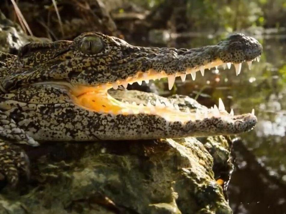 Le crocodile de Cuba, l'un des crocodiles les plus particuliers de la planète
