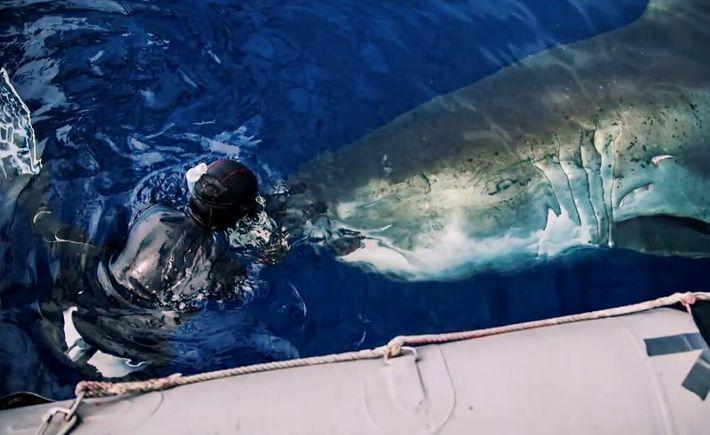 Trois gigantesques requins blancs pris en photo autour d'une carcasse de baleine