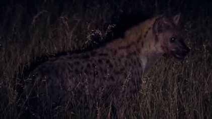 La hyène tachetée, bourreau du python d'Afrique