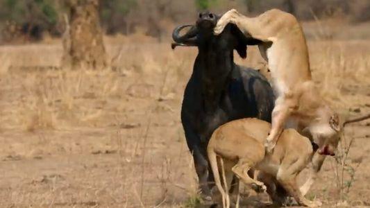 Les buffles : des proies devenues chasseuses de lions