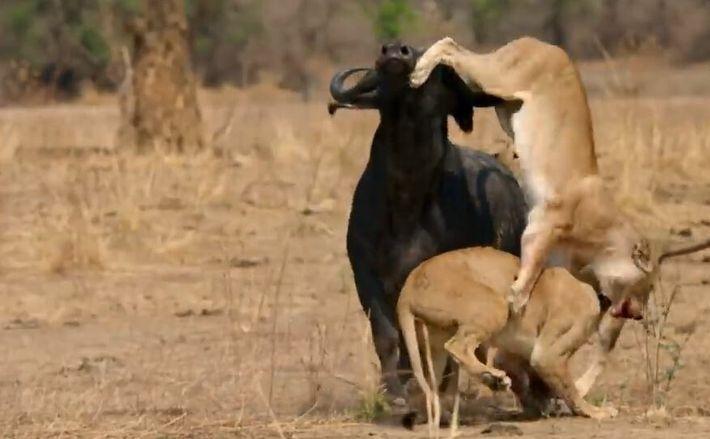 Les buffles : proies tueuses de lions