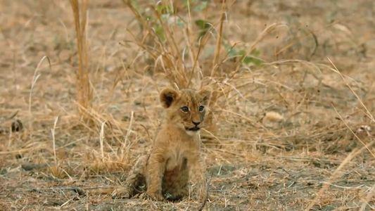 Ce lionceau est un lourd fardeau pour son clan