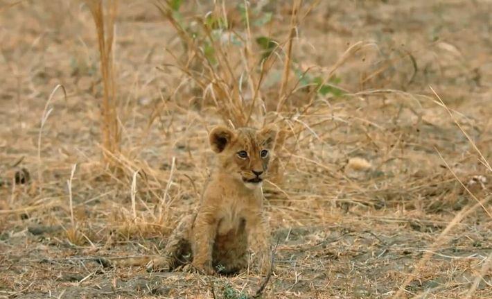 Ce petit lionceau est un lourd fardeau pour sa tribu