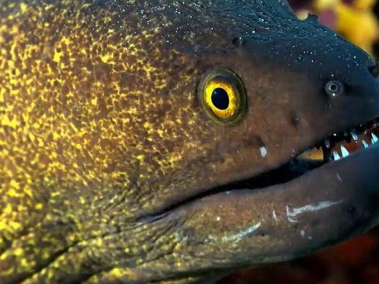 Murène contre poulpe : duel d'armes secrètes