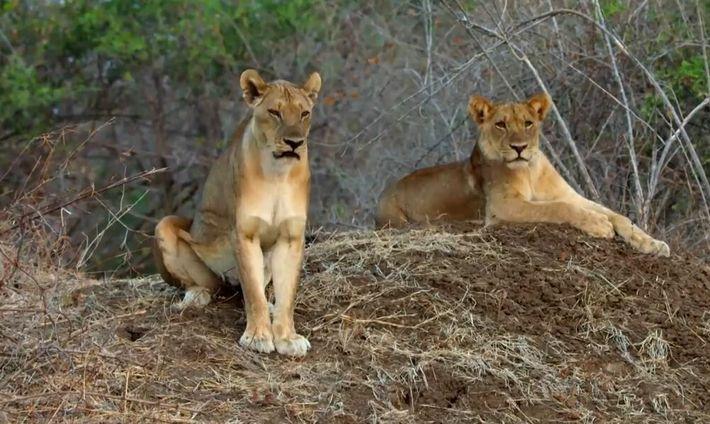 Des lions s'attaquent à des phacochères
