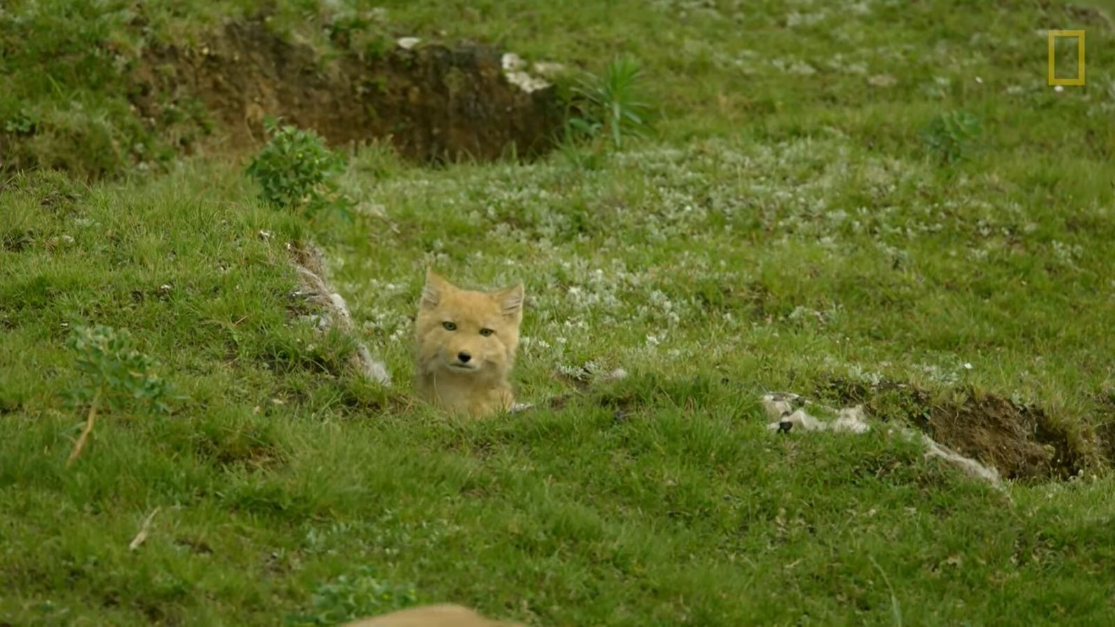 Le renard du Tibet est une espèce vivant dans les hauts sommets tibétains. Prédateurs, ils n'en ...