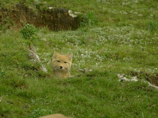 Adorable : le renard du Tibet en images