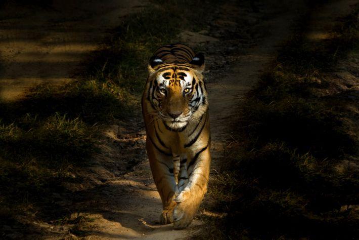 Dans le parc national de Kanha, un tigre du Bengale émerge de l'ombre.