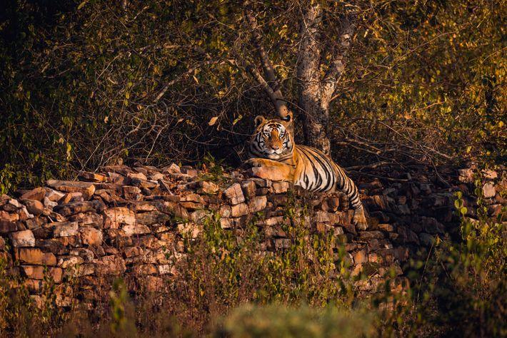Un grand mâle se repose sur un mur de pierres du parc national de Panna.