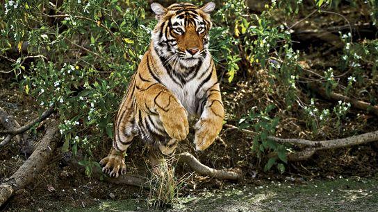 Un tigre s'élance dans le parc national de Ranthambhore.