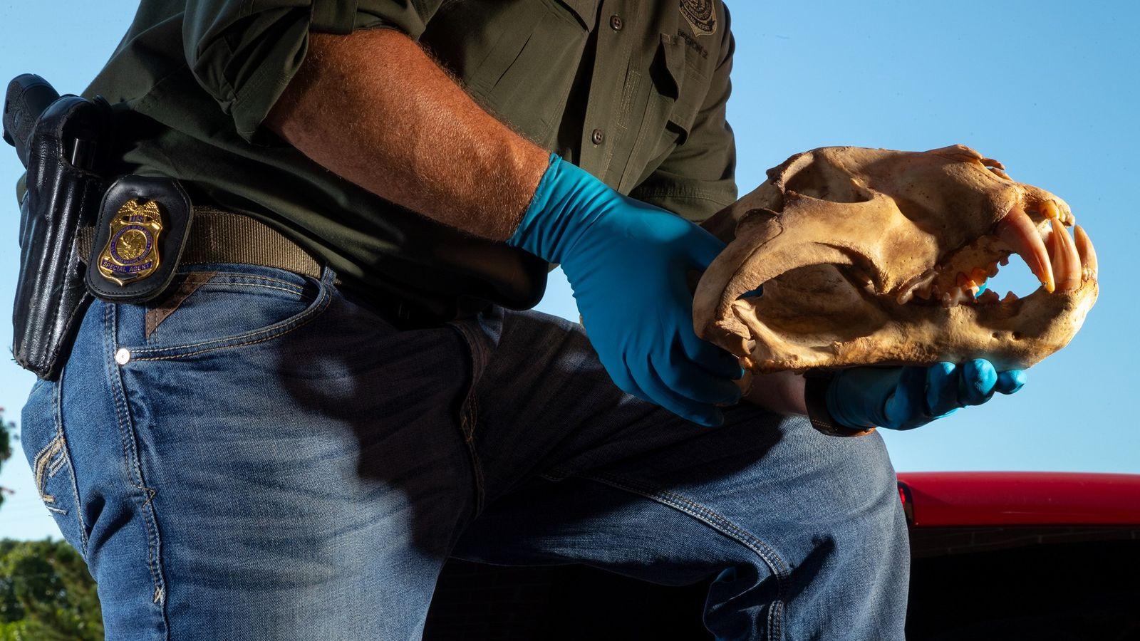 Un agent sous couverture du Fish and Wildlife Service des États-Unis tient dans ses mains l'un ...