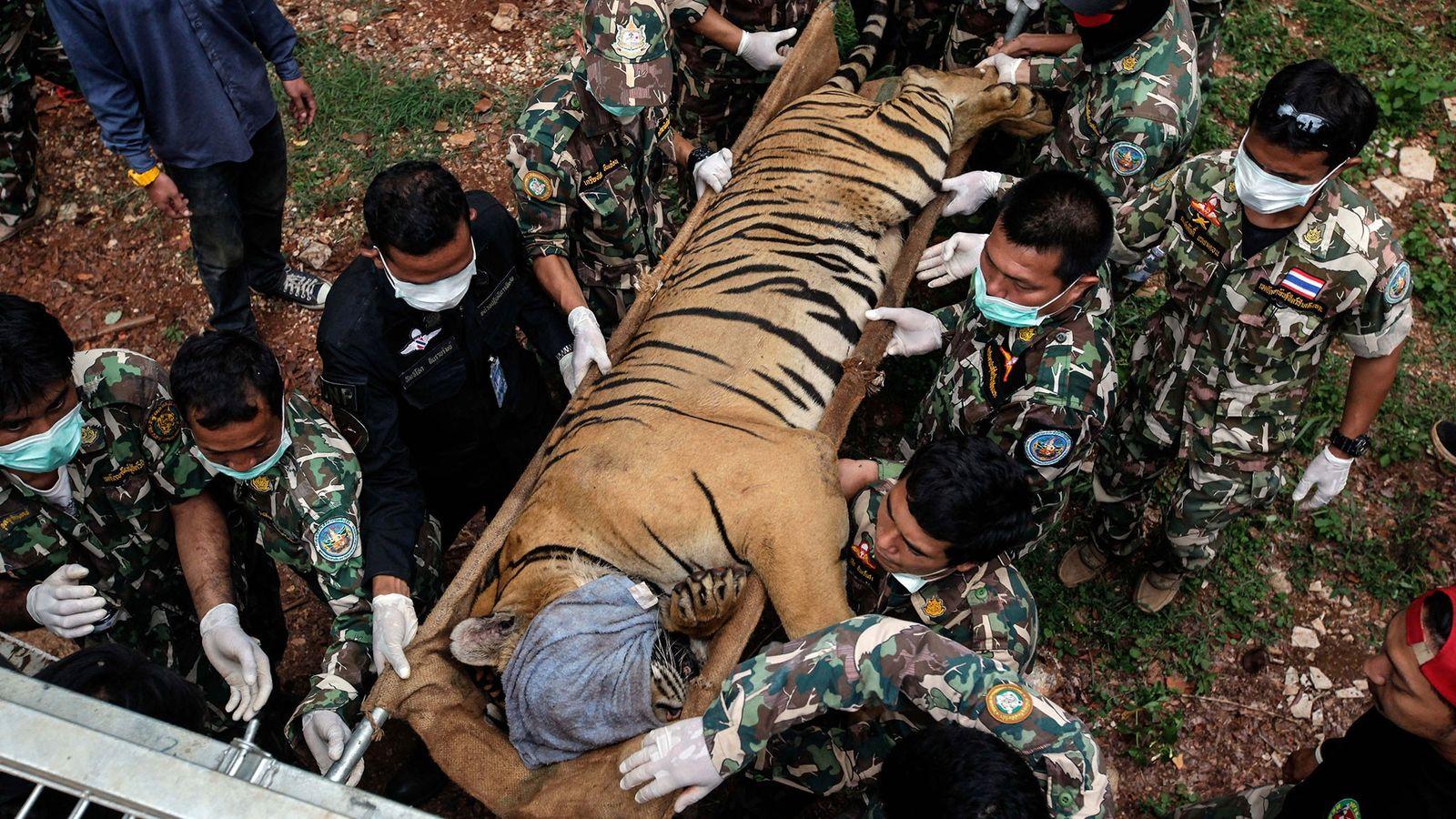 En 2016, 147 tigres ont été saisis lors d'une opération gouvernementale dans le Temple des Tigres ...