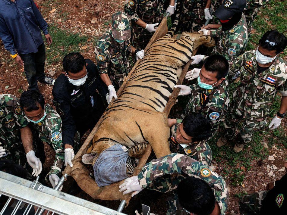 Thaïlande : 86 tigres secourus dans le Temple des Tigres sont morts