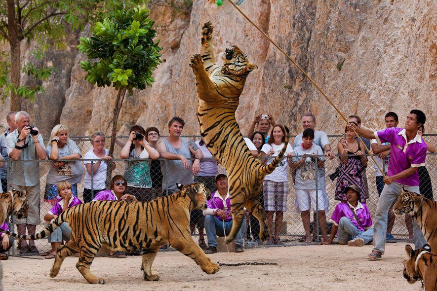 Les tigres représentaient un attrait touristique majeur pour les visiteurs du temple qui souhaitaient prendre des ...