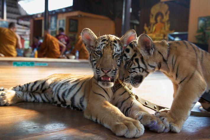 Les visiteurs du Temple des Tigres ont payé pour nourrir les tigrons au biberon, comme les ...