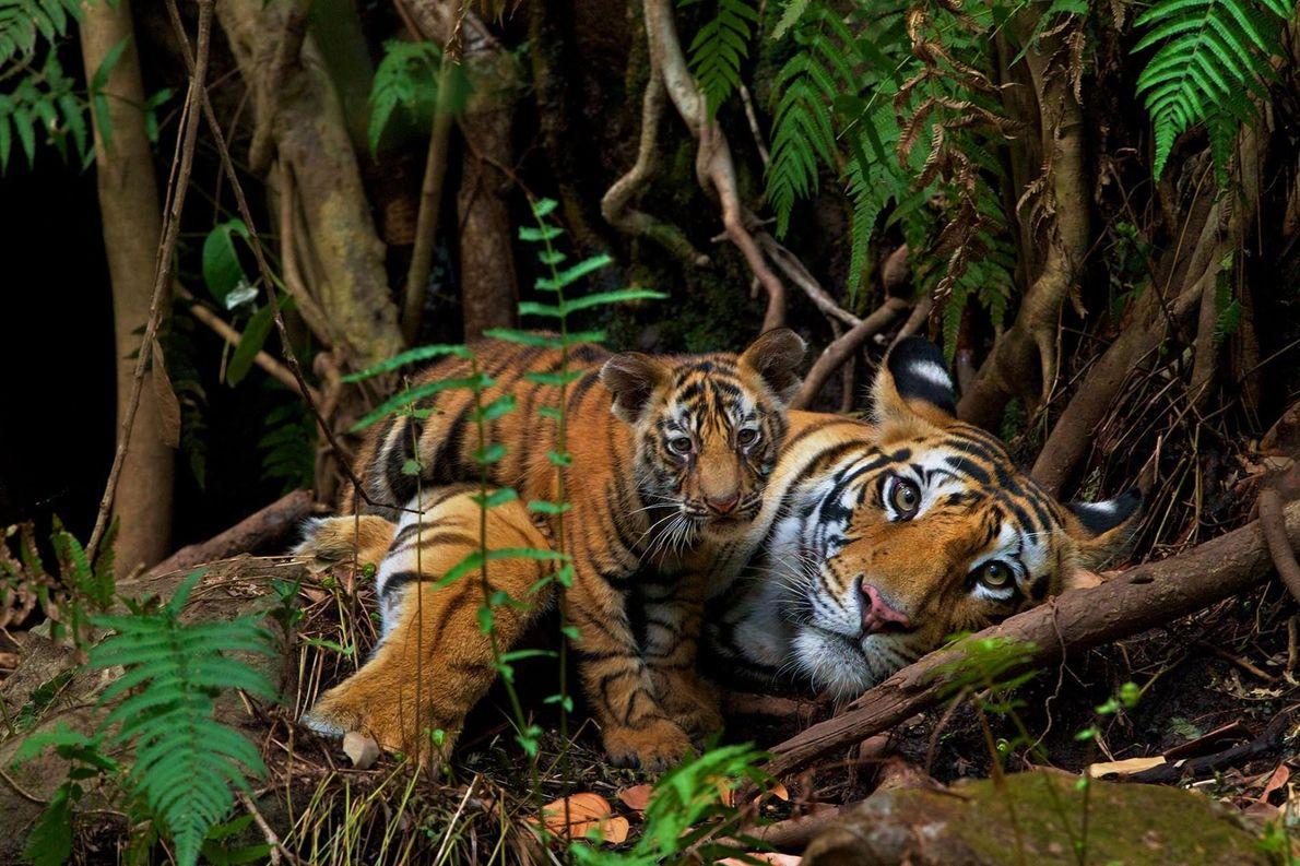 Dans le parc national de Bandhavgarh, une mère se prélasse avec son petit de deux mois. ...