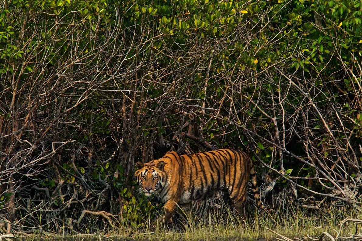 En Inde, dans la région des Sundarbands, un tigre rôde au milieu des mangroves.