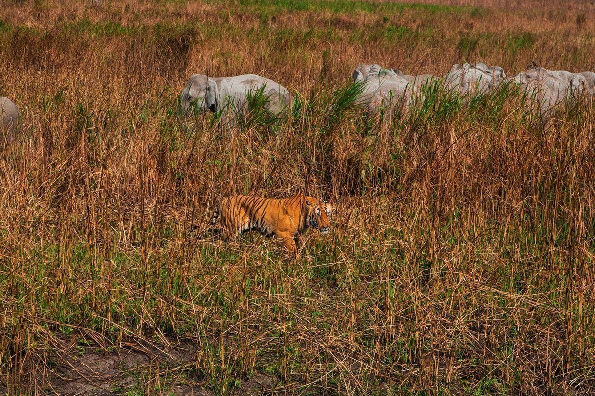 Un tigre camouflé traque un éléphanteau d'Asie au milieu des herbes folles.