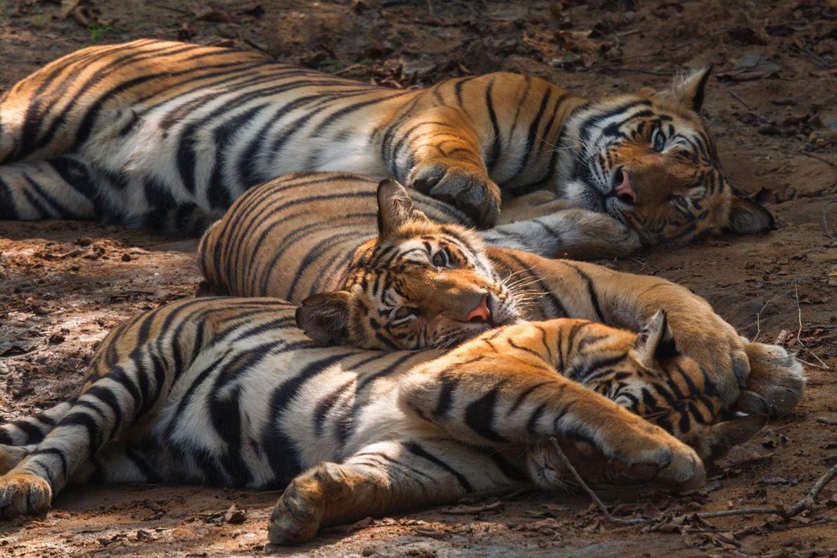 Un trio de bébés tigres âgés de 14 mois assoupis.
