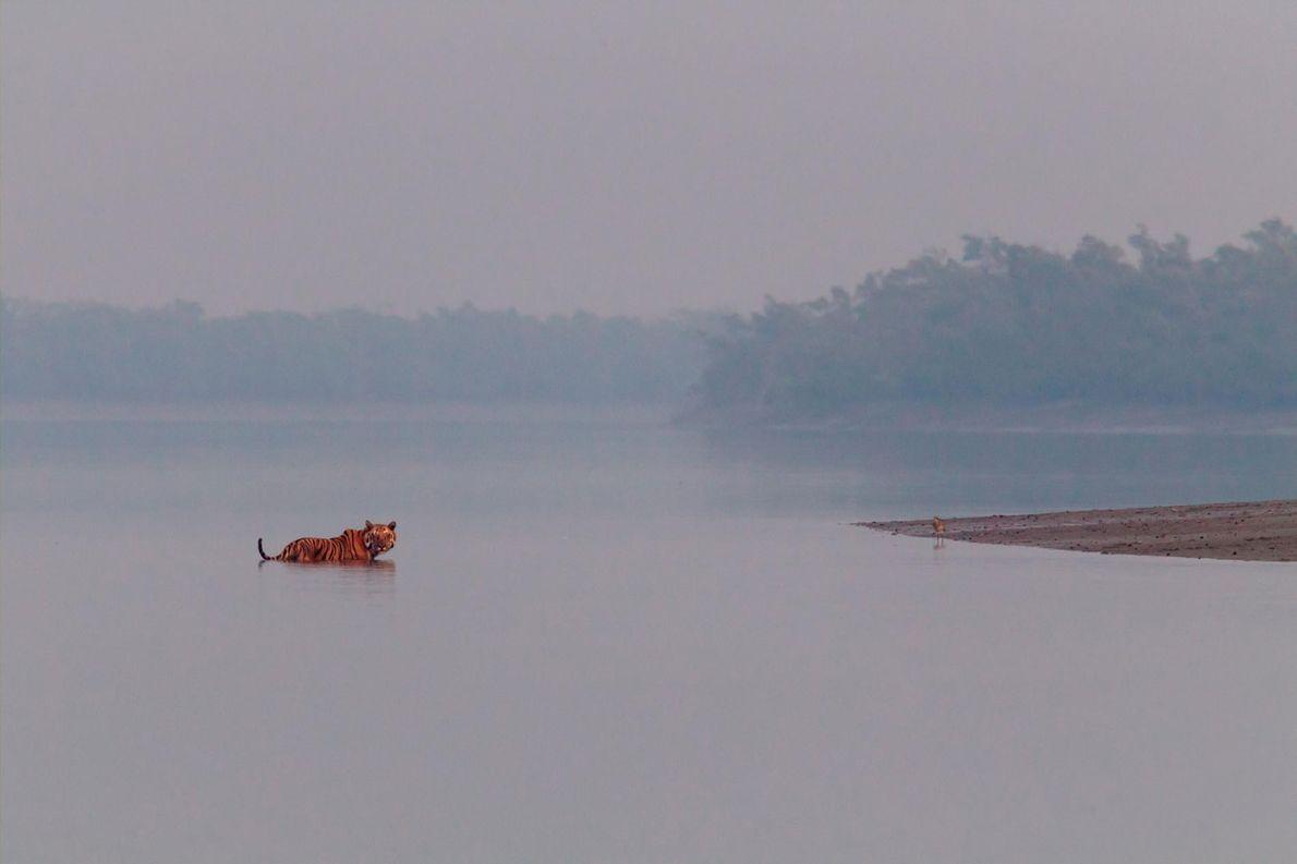 Un tigre du Bengale mâle s'immobilise au milieu d'une rivière et tend l'oreille aux rugissements d'un ...