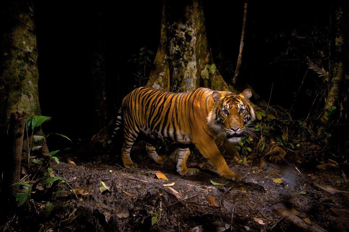 Dans les forêts du nord de Sumatra, en Indonésie, un tigre fixe un piège photographique qu'il ...