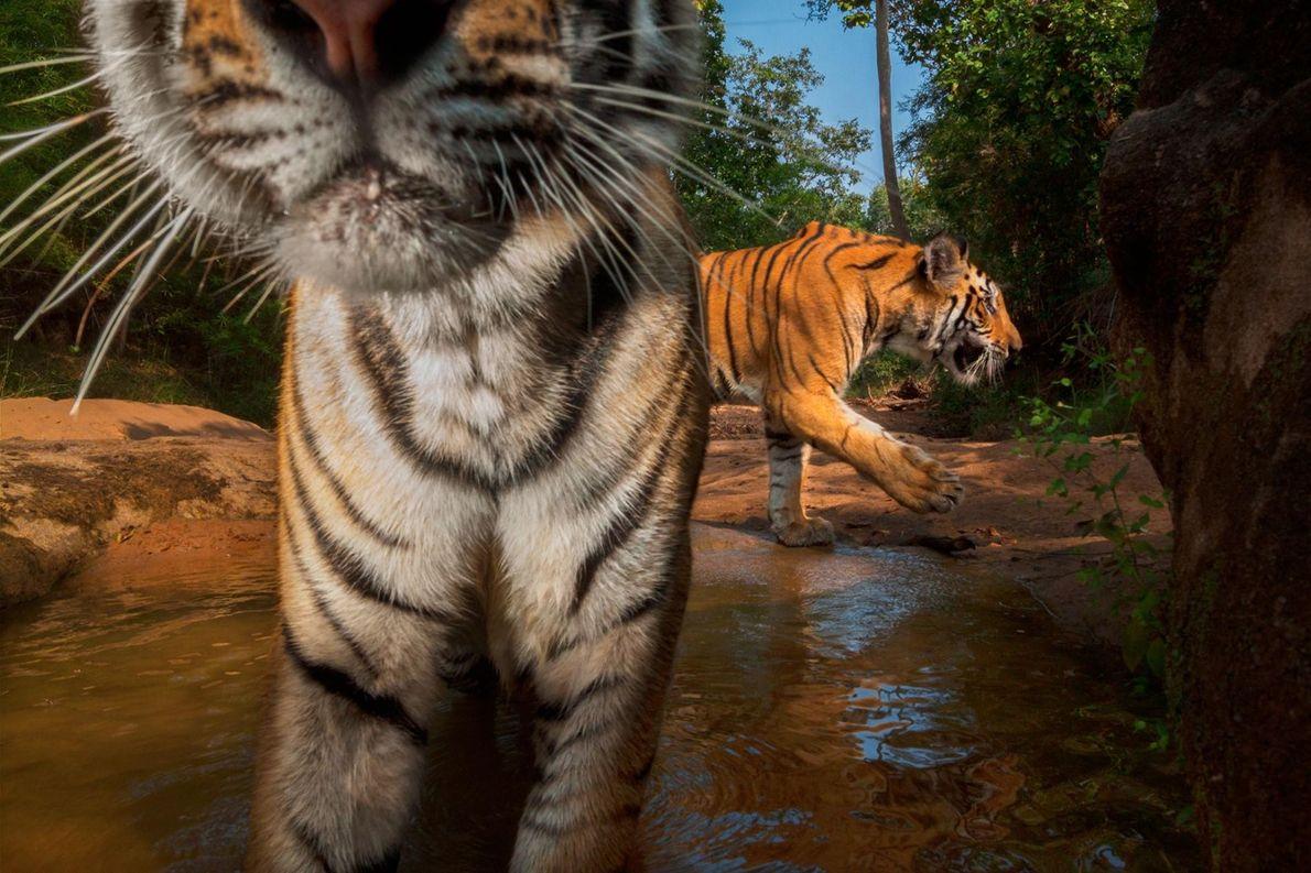 Un piège photographique immortalise des tigreaux qui se rafraîchissent dans un point d'eau du parc national ...
