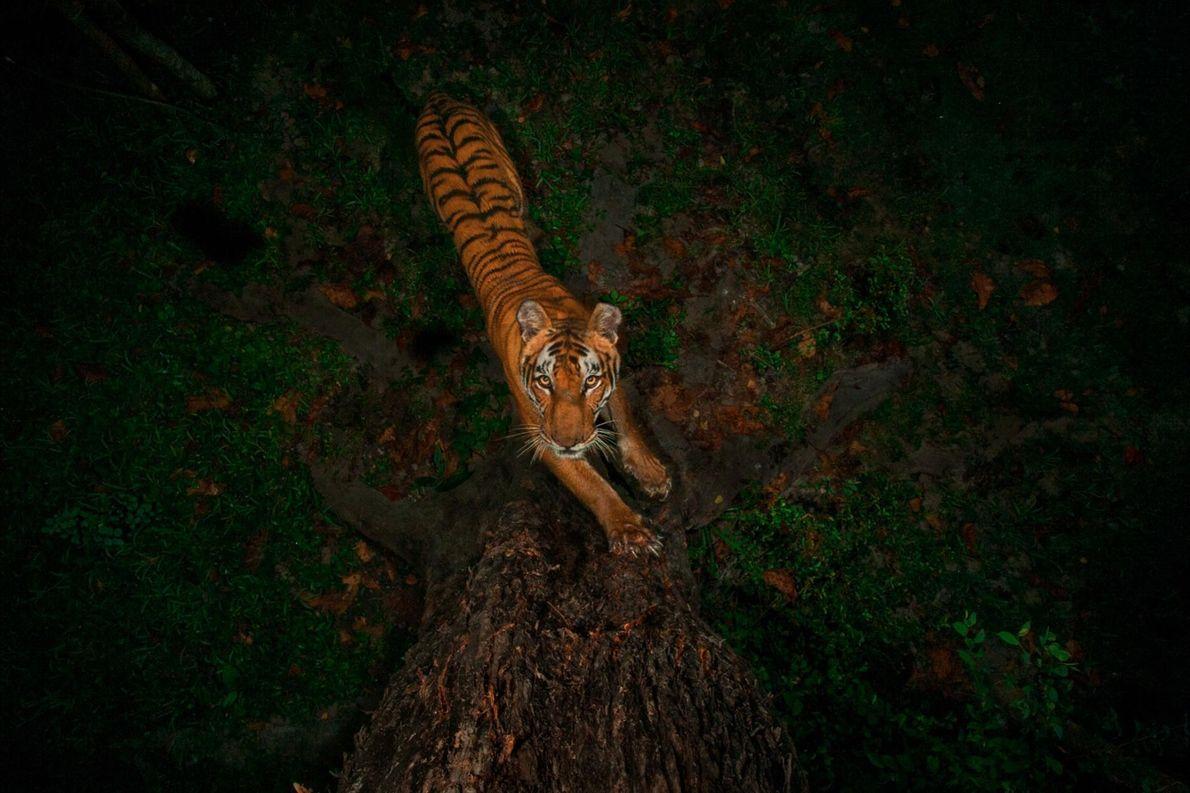 Un piège photographique saisit un tigre, dont la robe se détache dans l'obscurité, sur un arbre ...