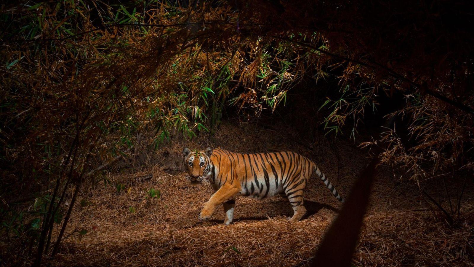 Une caméra télécommandée immortalise un tigre d'Indochine dans une forêt de bambou.