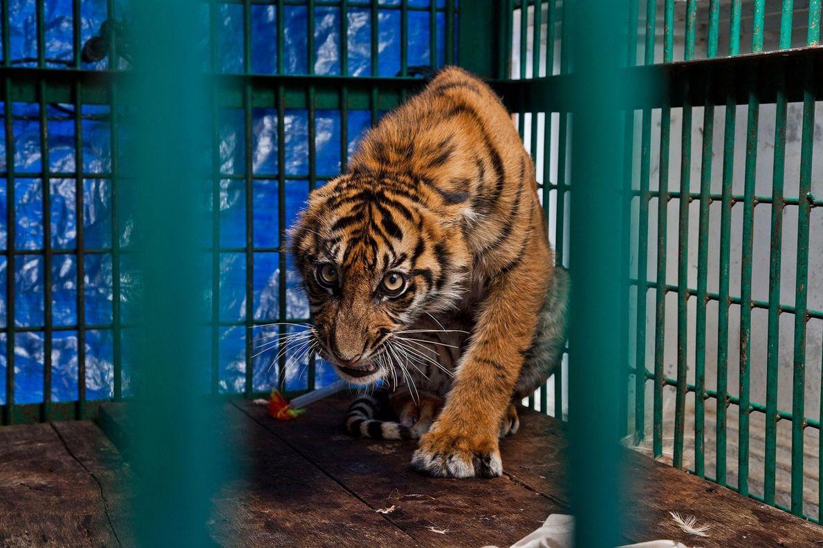 Le piège d'un braconnier a coûté la patte avant droite de ce tigreau de six mois, ...