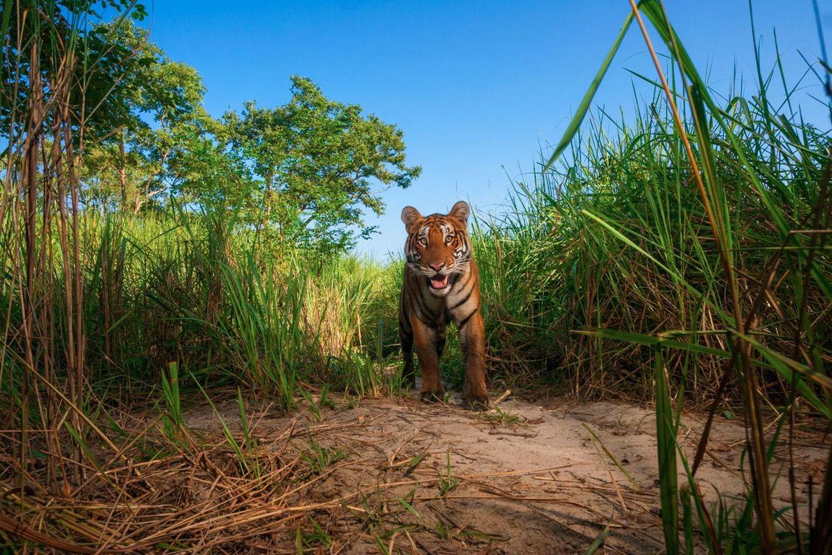 Un tigre dans le parc national de Kaziranga.