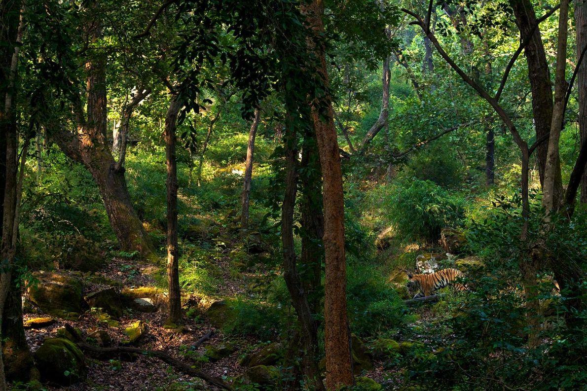 Un tigre mâle parcourt la jungle de la réserve de tigres du parc national de Bandhavgarh.