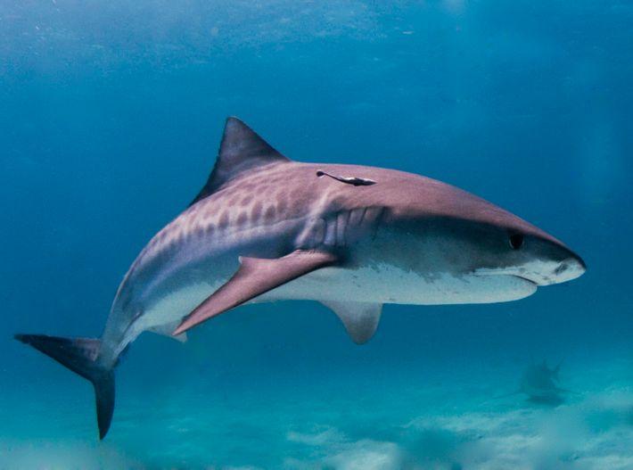 Le requin-tigre, l'une des espèces les plus mortelles d'Amérique