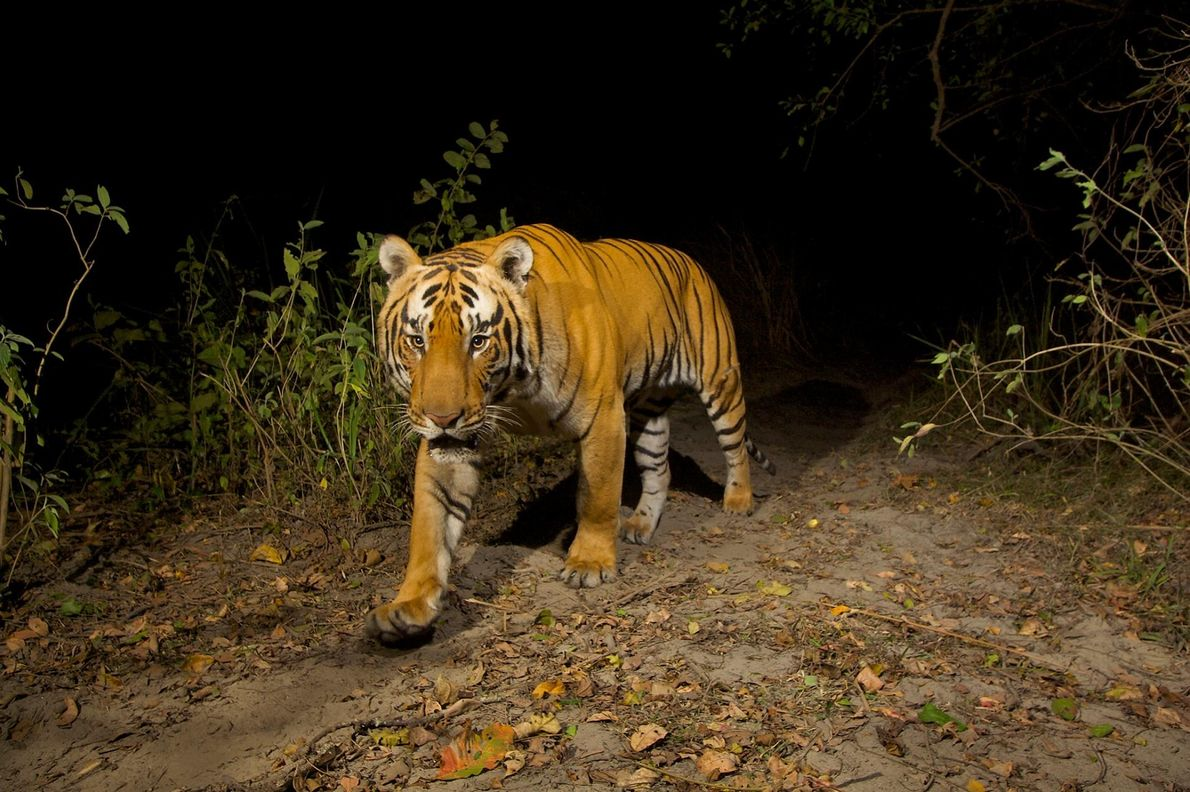 Essence de tigre