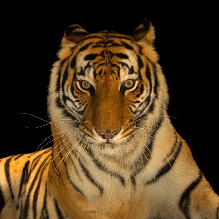 Un tigre du Bengale photographié à l'Alabama Gulf Coast Zoo, à Gulf Shores, dans l'Alabama