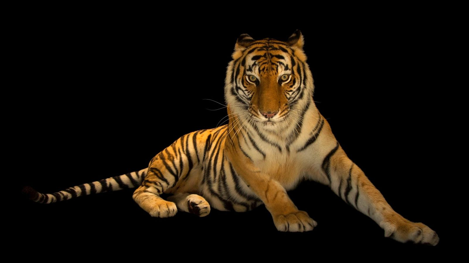 Un tigre du Bengale photographié à l'Alabama Gulf Coast Zoo, à Gulf Shores, dans l'Alabama.