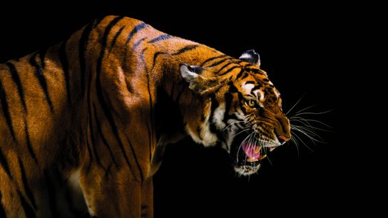 Tigre : centre de reproduction du tigre de la Chine méridionale à Suzhou.