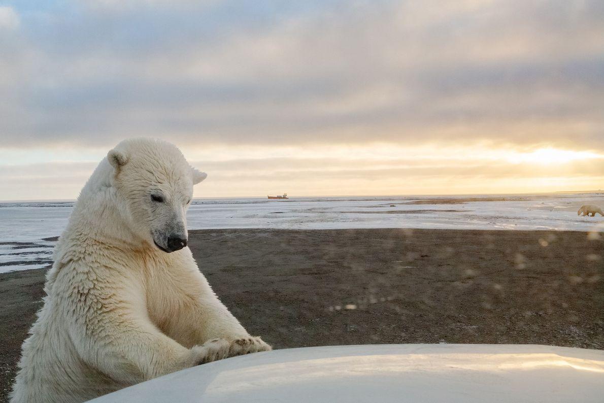 Curieux, un ours polaire inspecte une voiture près de Kaktovik, en Alaska. La fonte de la ...