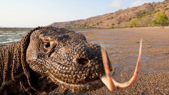 Le Varanus komodoensis est le plus grand lézard du monde. Il peut mesurer jusqu'à trois mètres ...