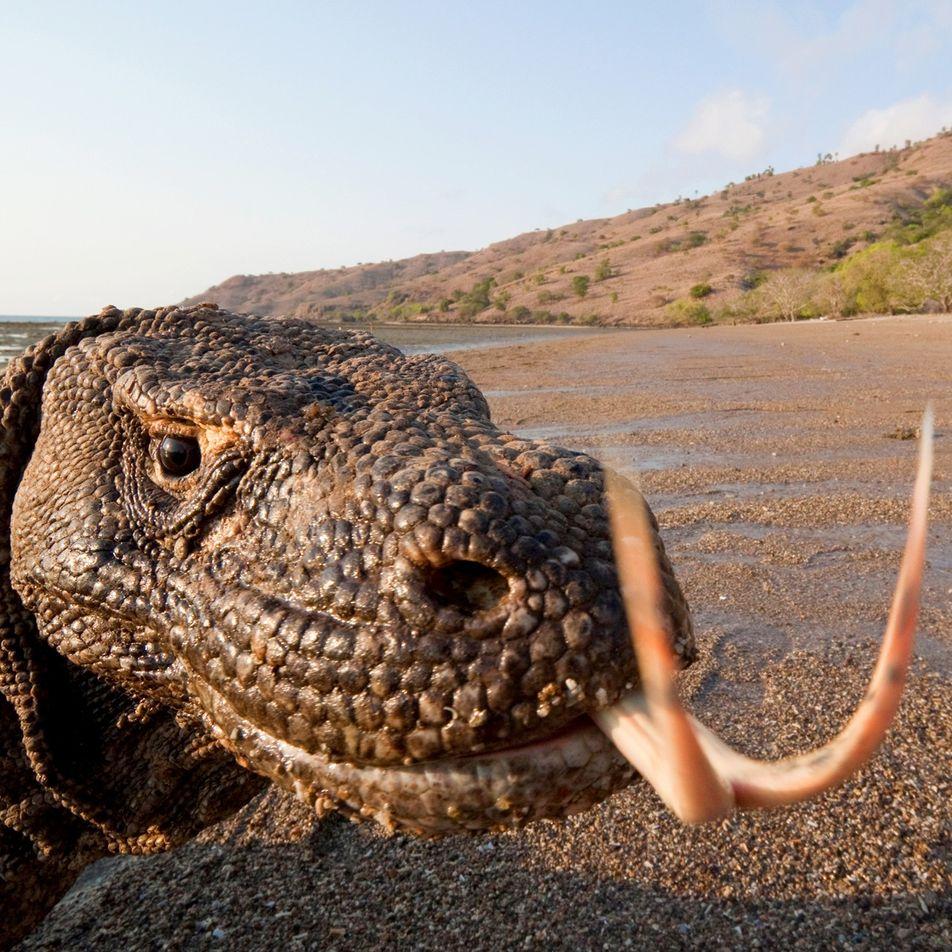 Le dragon de Komodo, dangereux fainéant