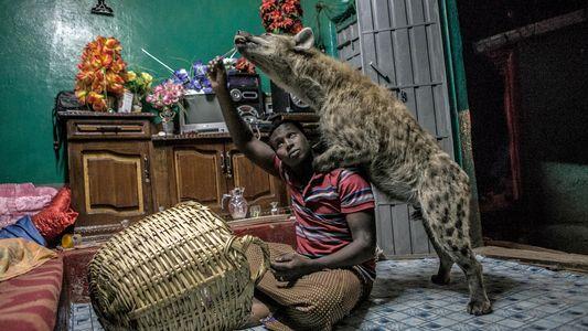 Le quotidien aux côtés des hyènes