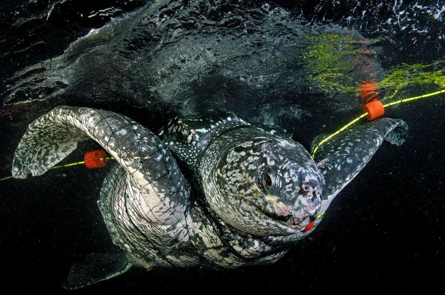 Les animaux tels que les tortues luths (ci-dessus) sont confrontées à d'autres menaces – comme le ...