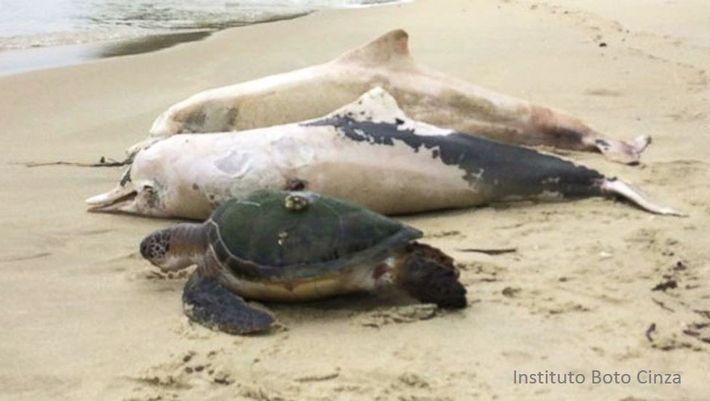 Depuis mi-décembre, plusieurs dizaines de carcasses de dauphins gris ont été retrouvées sur les plages brésiliennes.