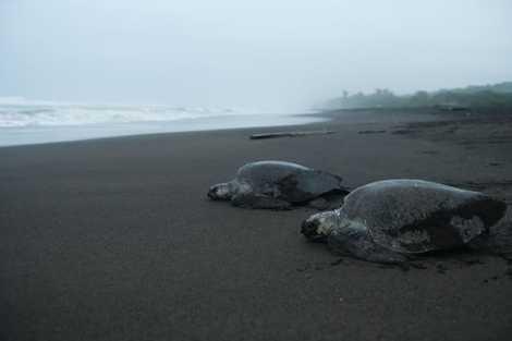 Des tortues marines affluent chaque mois, quelques jours avant la pleine lune, pour pondre sur la ...