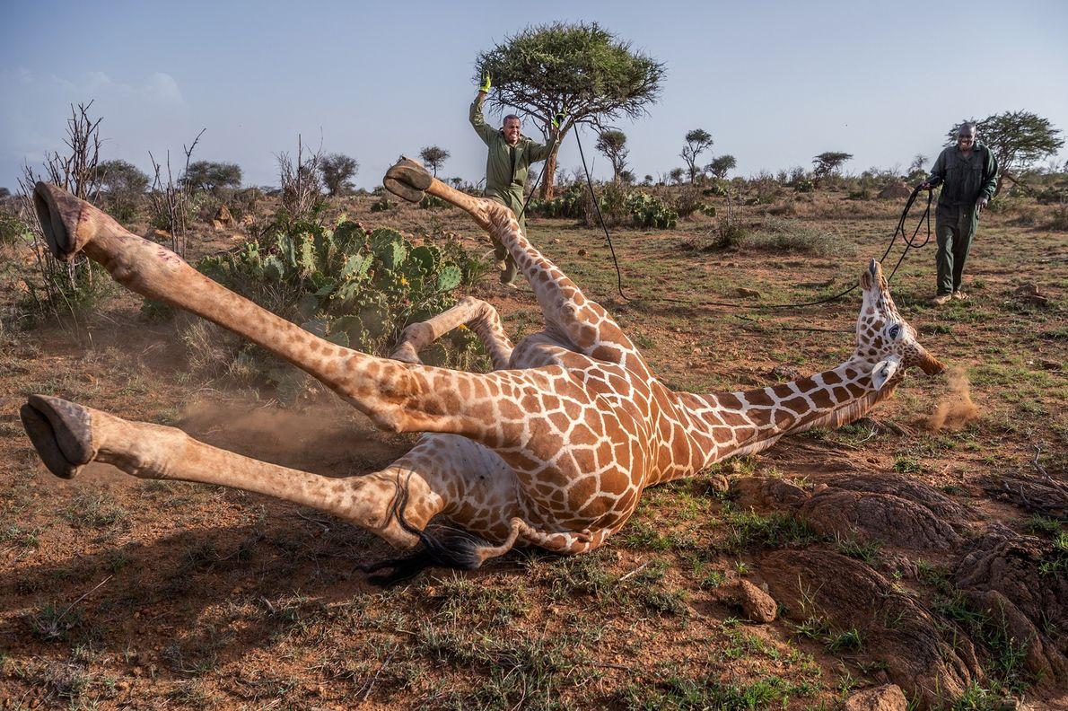Des experts de la faune kenyans s'approchent d'une girafe réticulée qu'ils ont au préalable tranquilisée sur ...