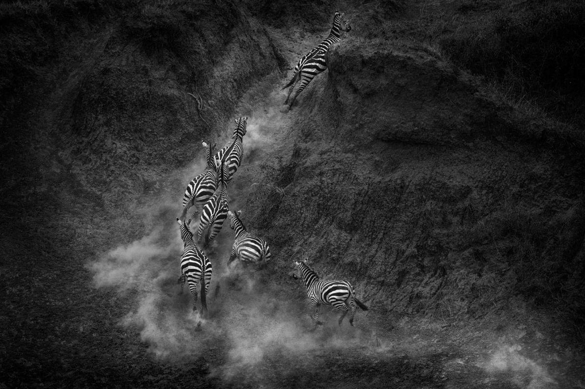 Un troupeau de zèbres s'éloigne au grand galop des berges du fleuve Mara, peuplées de crocodiles.
