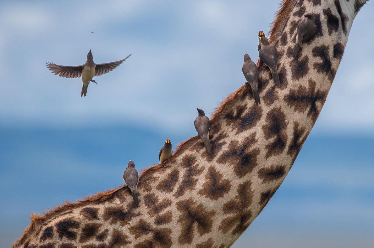 Un groupe de piquebœufs a pris place sur le cou d'une girafe pour se nourrir des ...
