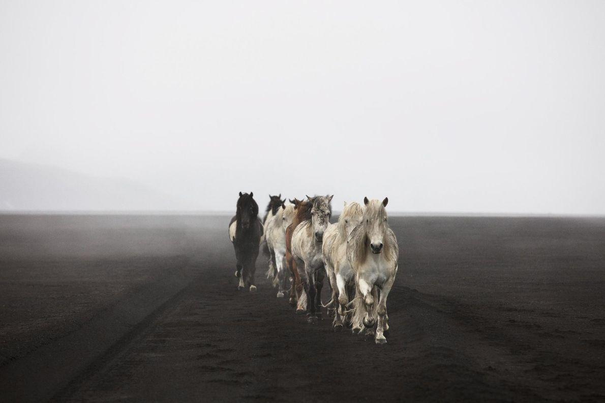 Un troupeau de chevaux apprivoisés erre dans les Hautes Terres de l'Islande.
